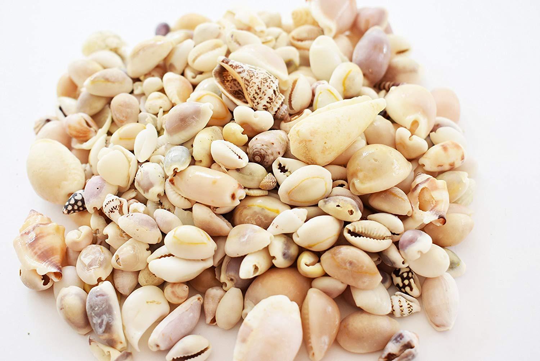 Florida Shells and Gifts Inc. 1 lb (400) Genuine Beach Roller Shell Mix Aquarium Beach Fish Tank Natural