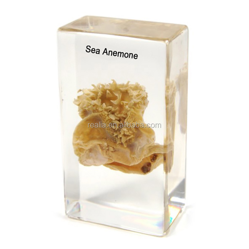 Sea Anemone Anatomical Specimens - Buy Anatomical Specimens,Embedded ...
