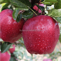 Chinese huaniu apple fresh red delicious apple fruit fresh apple factory