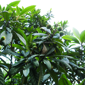 Touchhealthy Supply Landscape tree plant loquat seeds for planting
