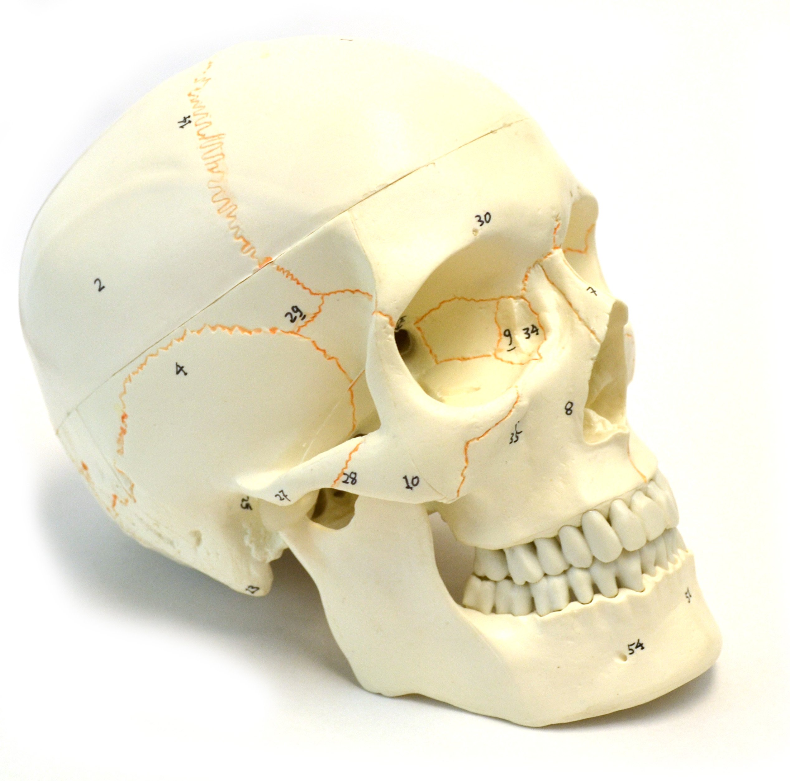 являются формы норм черепа человека фото жары суши