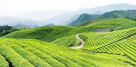 New Anxi Tieguanyin Organic Oolong tea Strong aroma - 4uTea | 4uTea.com