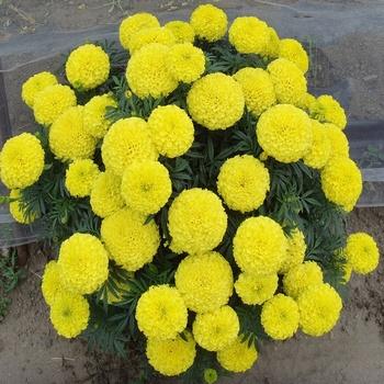 Plant hybrid f1 yelloworangegold big flower marigold seeds bulk plant hybrid f1 yelloworangegold big flower marigold seeds bulk tagetes erecta seeds mightylinksfo