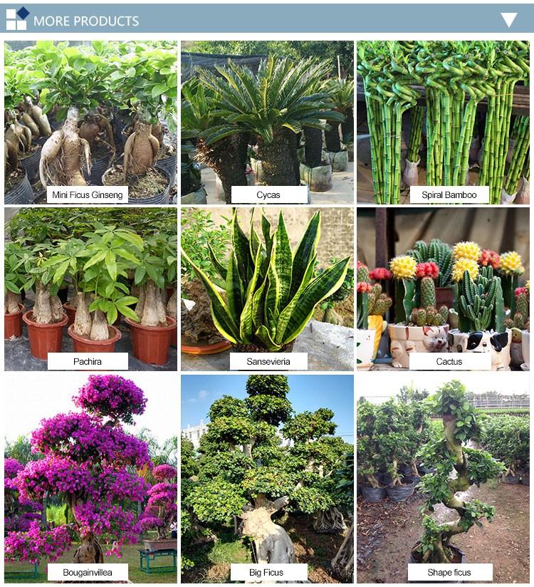 Indoor Bamboo Plant Aquatic Plants