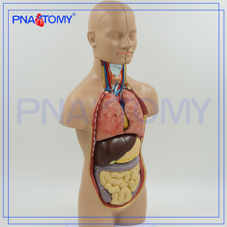 Pnt 0320 Human Anatomical Torso Model Of 50cm With 12 Partssexless