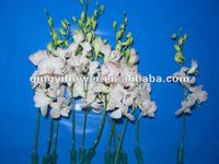 Decor Home Natural High quality Plant China Orchid Plant