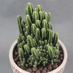 kinds of Size Outdoor Indoor natural plant Cactus Bonsai