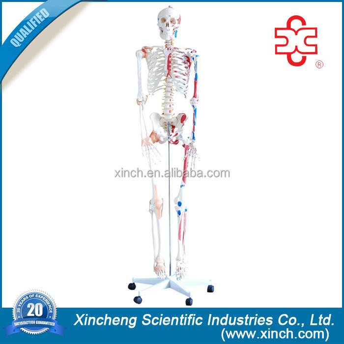 Standard Life Size Real Human Skeleton For Sale - Buy Real Human Skeleton  For Sale,Standard Real Human Skeleton For Sale,Life Size Real Human  Skeleton
