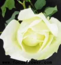 le plus bas prix haute qualit lyophilis rose ptales de mariage rose ptale poppers tineke avec - Fleurs Lyophilises Mariage