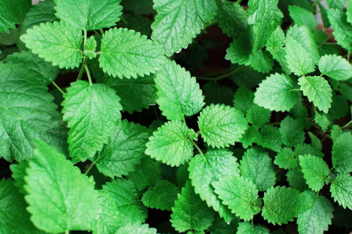 Peppermint Herb Seeds Garden Organic Peppermint Mint Herb Plants Mentha 30 Seeds for Planting (Lemon Peppermint Seeds)