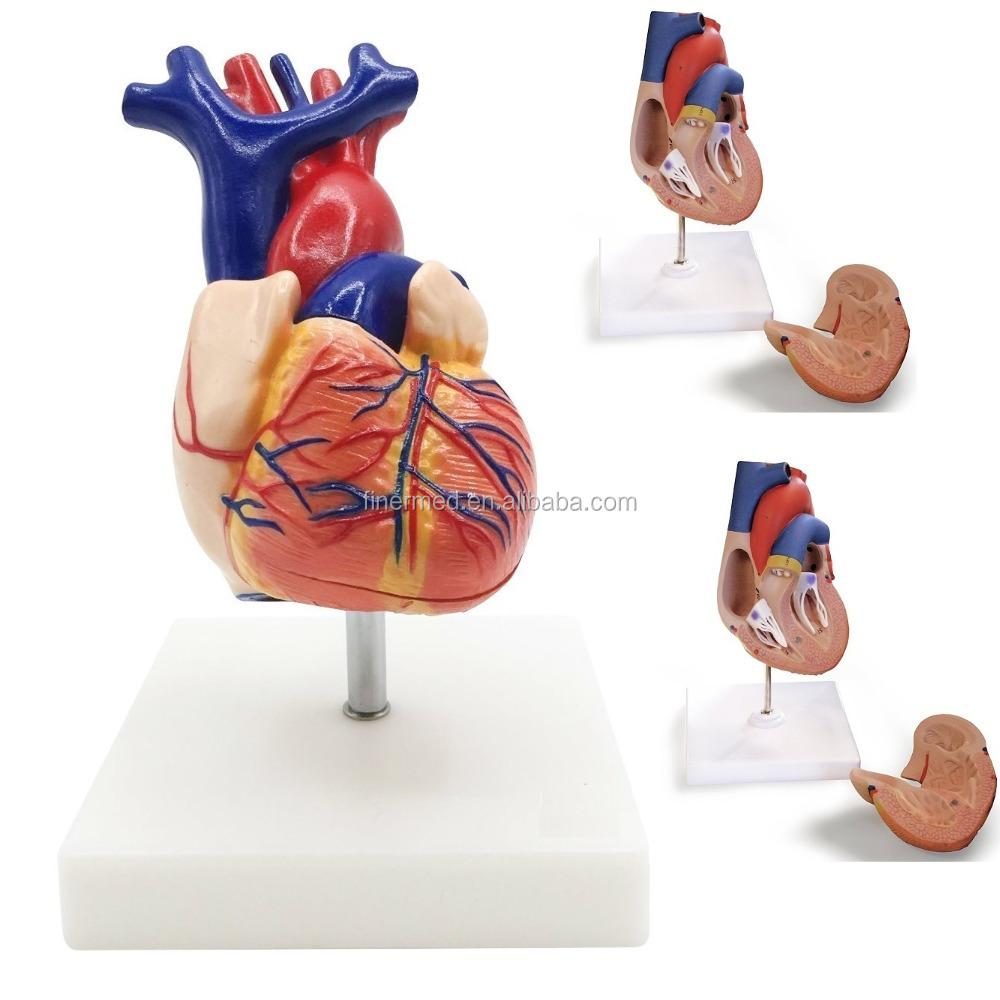 Finden Sie Hohe Qualität Anatomie Hersteller und Anatomie auf ...