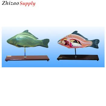 Anaimal Medizinische Fisch Anatomisches Modell,Fisch Anatomie Modell ...