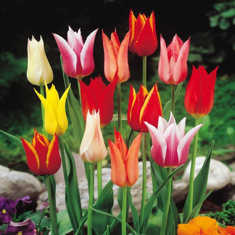 Kiwanis - Imported from Holland Tulip Bulbs for Planting perennial From Amsterdam White SILKSART 25 Quality Tulip Bulbs