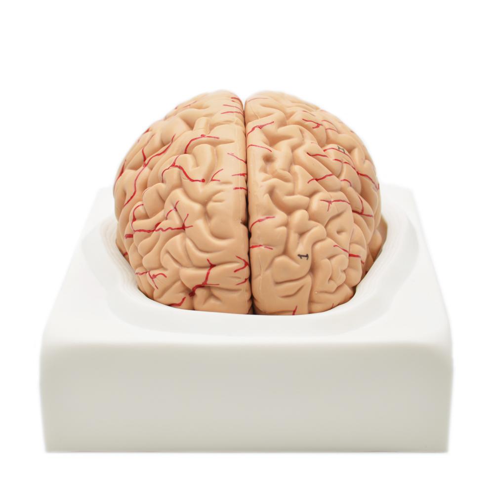China Brain Anatomical Model, China Brain Anatomical Model ...