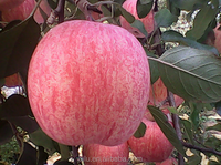 Seasonal Fruits Fresh Qinguan Apple Products