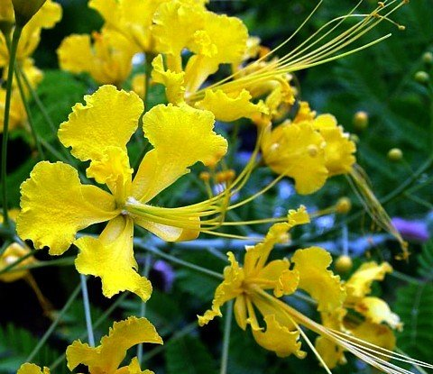 Yellow Bird of Paradise 10 Seeds -Caesalpinia- Tropical