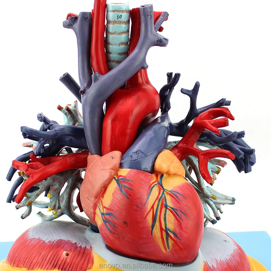Venta al por mayor anatomía del pulmón-Compre online los mejores ...