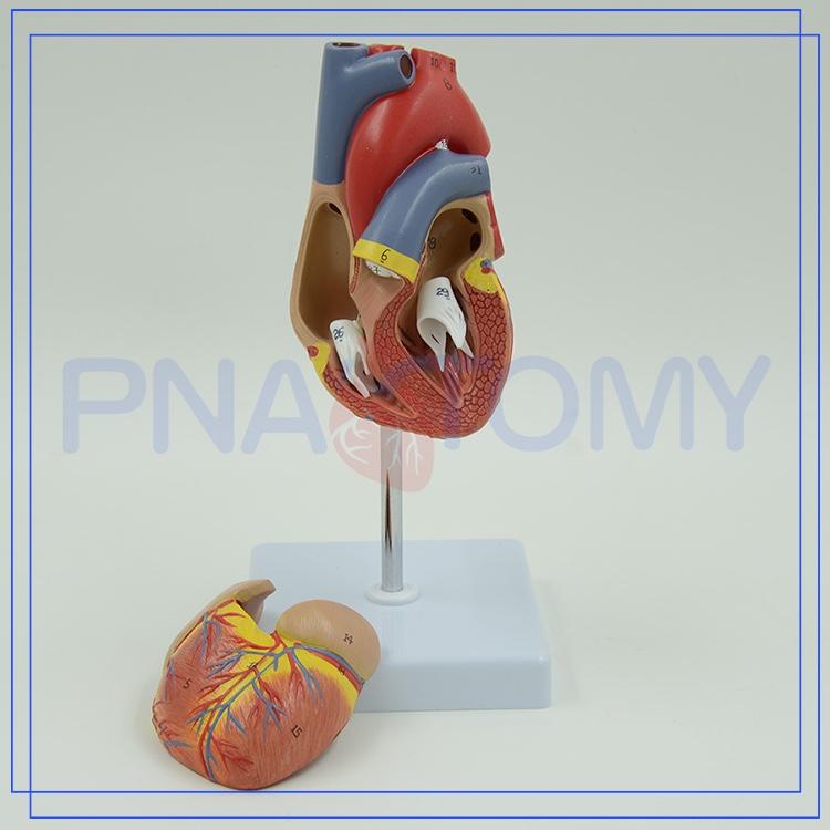 Pnt-0400 Medical 3d Heart Anatomy Model - Buy Human Body Anatomy ...