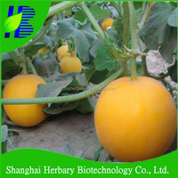 High disease resistance JTM NO.1 golden melon seeds of golden sweet melon