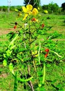 Cassia Alata Seeds,Candle Tree / Bush,Empress Candle Plant Seeds ...