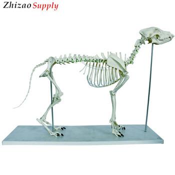 Animal Big Dog Skeleton Modeldog Skeleton Anatomical Modeldog