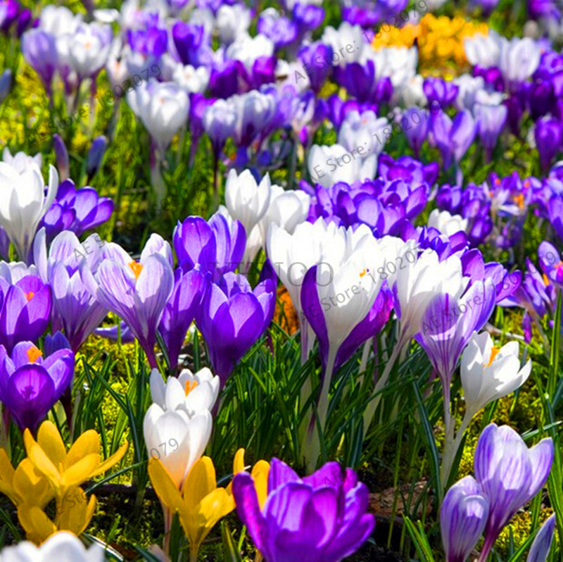 Us 0 8 Lowest Price 100 Pcs Bag Many Varieties Saffron Seeds