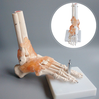 medical science subject and medical simulation human skeleton model / Life Size Foot Joint with Ligaments
