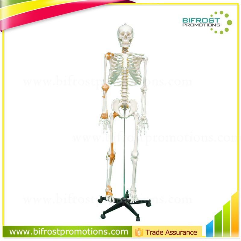 China 170cm Skeleton Model, China 170cm Skeleton Model Manufacturers ...