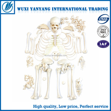 4D MASTER Artificial Human bone skeleton structure anatomy model 180cm