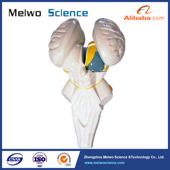 Medical Science Subject And Anatomy Model Type Brain Stem Model And ...