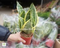Sansevieria trifasciata(Snake Plant )Ornamental Plants