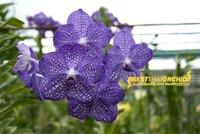 Vanda Sansai blue orchid plant