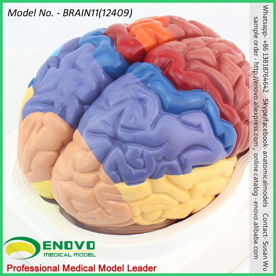 Brain1112409 Advanced Medical Anatomy 2 Parts Cross Section Human