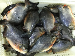 frozen fish suppliers fresh red pomfret red pacu fish