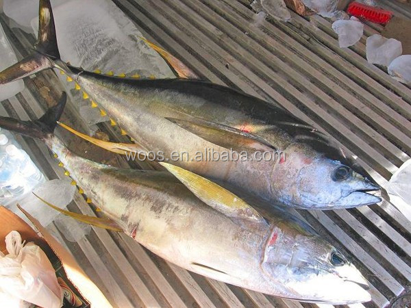 Frozen Fresh Yellowfin Tuna Whole Round
