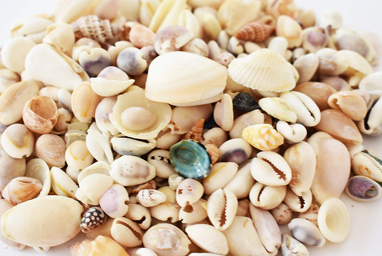 Florida Shells and Gifts Inc. Gallon Bag of Genuine Beach Roller Shell Mix Aquarium Beach Fish Tank Natural (Gallon=3.5 lbs)