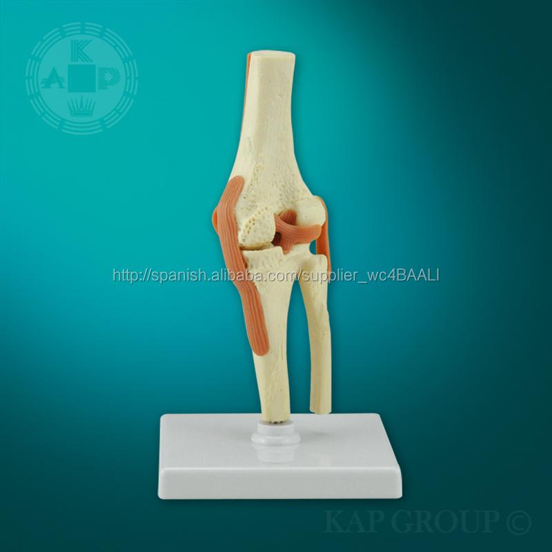 modelo de la rodilla anatómica para la venta y la rodilla educativo ...