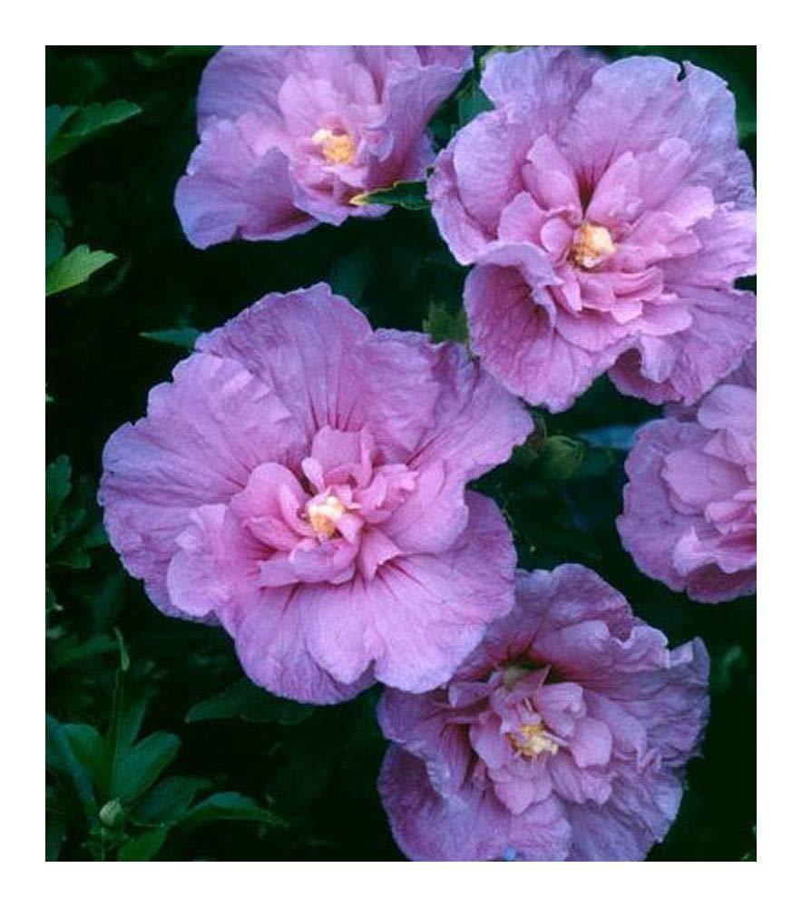 Buy White Chiffon Hibiscus Rose Of Sharon Proven Winner One