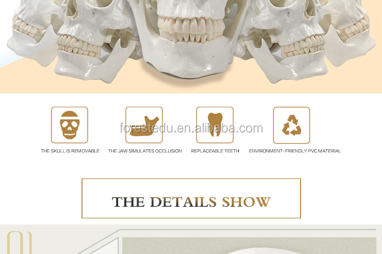 Education Supplies high quality medical life size 1:1 white skull of human model
