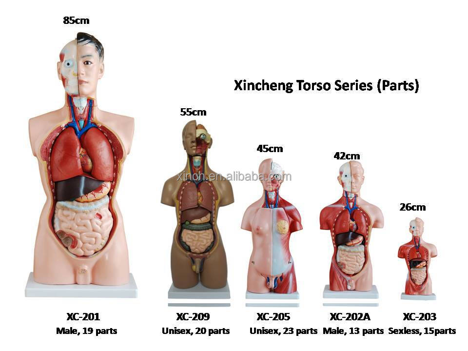 85cm Unisex Human torso model, human anatomical model with 40 Parts ...