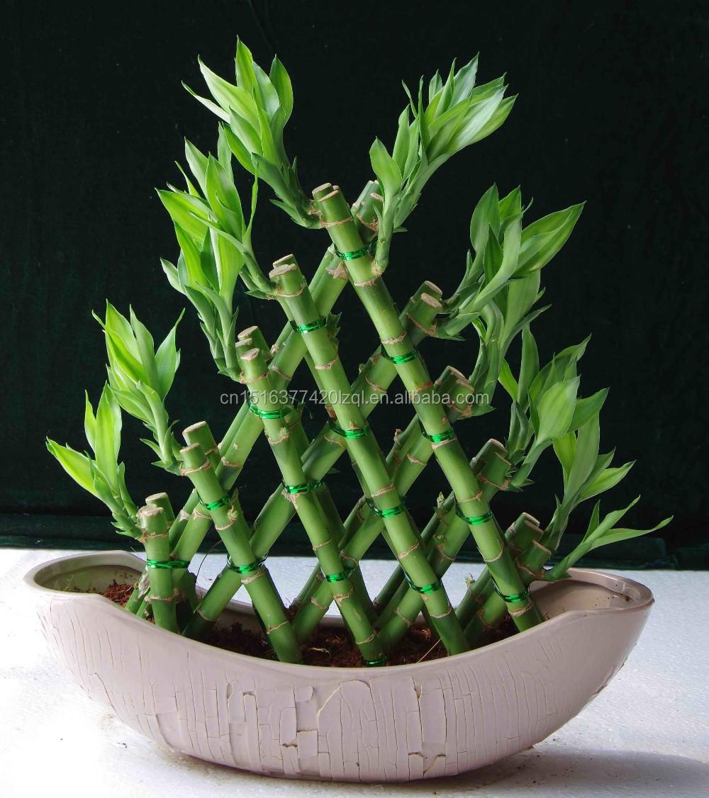 Pyramid Lucky Bamboo Dracaena Sanderiana Bamboo Plants