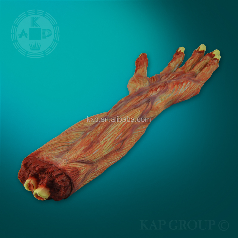 Echte Haut Pvc Menschliche Anatomie Palme Muskel-modell - Buy ...