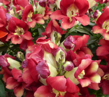 Top quality red white pink yellow golden blue snapdragons seeds for top quality red white pink yellow golden blue snapdragons seeds for sowing mightylinksfo