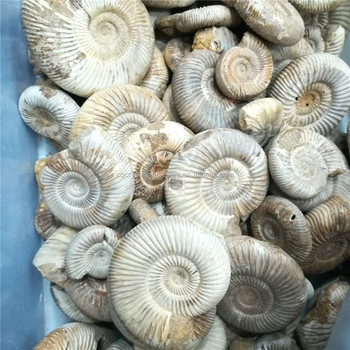 Natural Polished Mud Ammonite Fossils - Buy Ammonite Fossils For  Sale,Ammonite Fossil Sterling Jewelry,Russian Pyrite Ammonite Fossil For  Sale Product