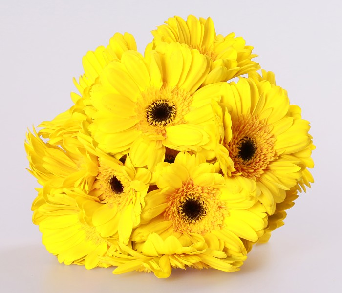 Natural different types flowers golden yellow gerbera sunshine coast natural different types flowers golden yellow gerbera sunshine coast qingyi flower fresh cut flowers buy golden yellow gerbera sunshine coast fresh cut mightylinksfo