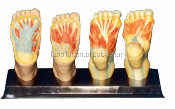 4 Teile Anatomischen Planta Pedis Modell,Fuß Muskeln Modell - Buy ...