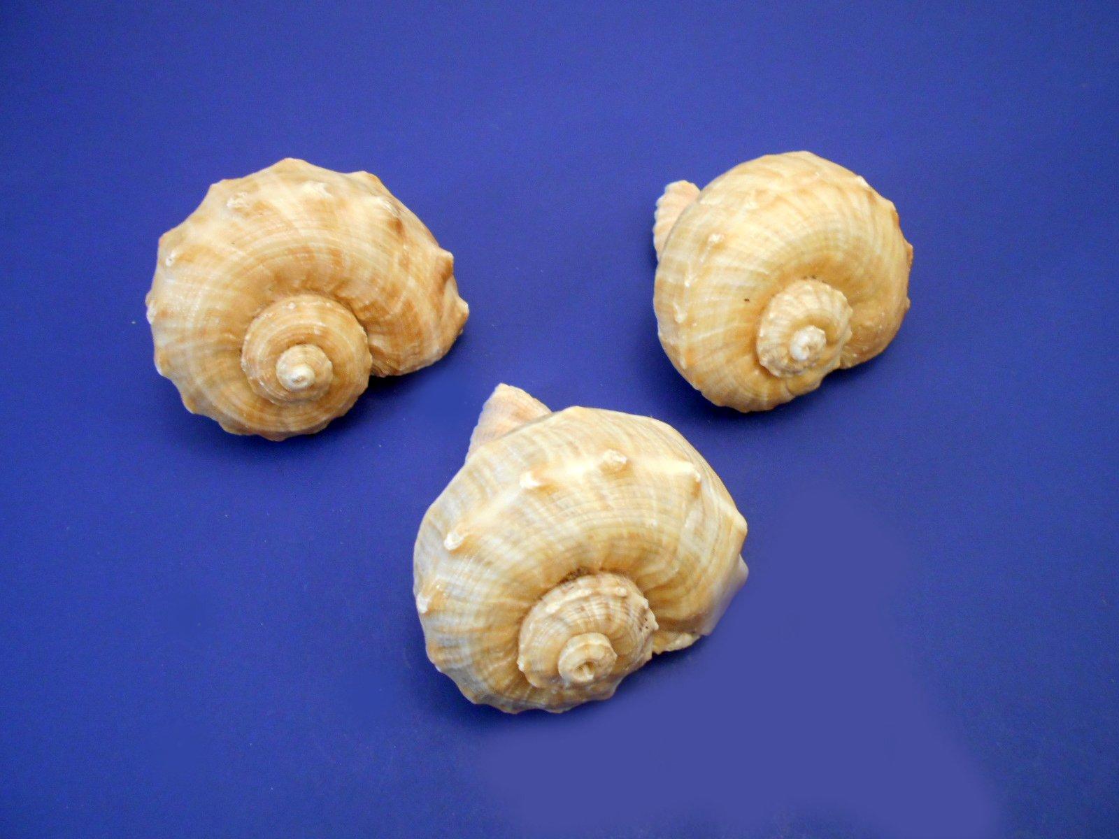 "Florida Shells and Gifts Inc. 3 Large Rapana Whelk Shells Seashells 2""- 3"" Sea Shell Hermit Crab Beach Nautical"