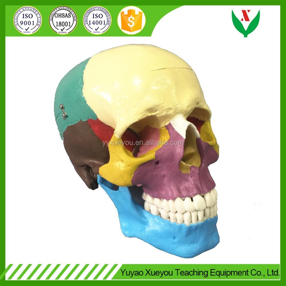 China Human Skull, China Human Skull Manufacturers and Suppliers on ...
