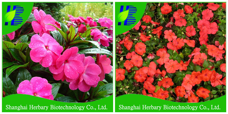 High germination percentage flower seeds balsamine seeds for planting
