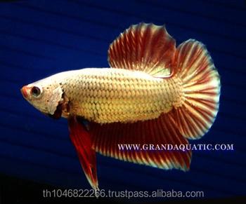 Betta Fish Farm For Sale And Aquarium Fish Exporter
